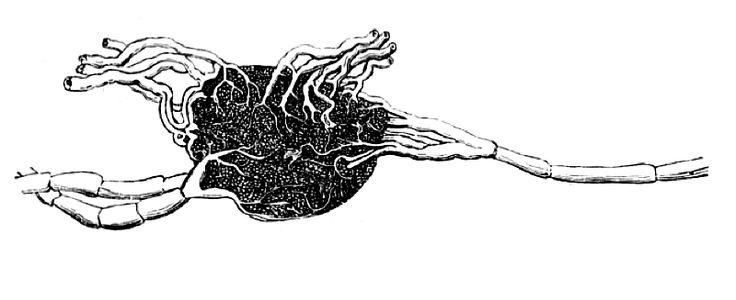 Organe (amas)lymphoïde secondaire, situé sur le trajet des vaisseaux lymphatiques. Du latin nodi lymphatici. Appelé aussi : Lymphonœud – Nœud lymphatique (nomenclature internationale) – Nodus lym…