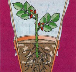 A rózsa dugványozáshoz olyan ágat válasszunk, melyen már levirágzott a növény. Ezek a vesszők már elég érettek arra, hogy gyökeret növesszenek. Éles, steril késsel/metszőollóval levágjuk a levirágzott ágat. Min. 3-4 levélpár legyen rajta! Kb. 20-25 cm. Alsó levélpárokat eltávolítjuk, elnyílt virágfejet levágjuk, hormonba mártjuk a szárvéget és gyökereztető közegbe tüzdeljük. Fontos a párásítás és a megfelelő öntözés!!!