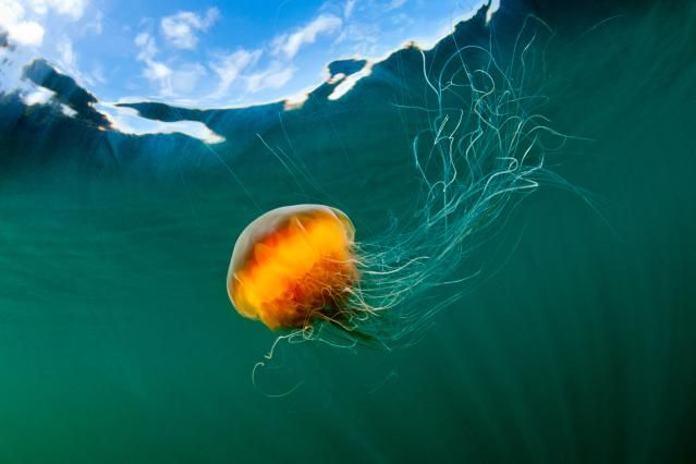 10 Facts About Jellyfish: An example of an invertebrate: Lion's Mane Jellyfish - <i>Cyanea capillata</i>.
