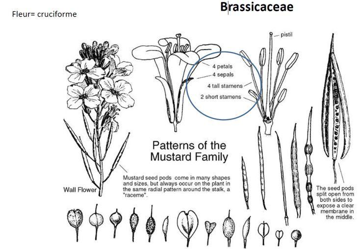 La famille des Brassicaceae, anciennement nommées Crucifères, est une importante famille de plantes dicotylédones. En classification classique, il comprend 3 200 espèces réparties en 350 genres.  Rang : Famille Classification : Brassicales Sous-ordres : Arabidopsis, Eruca