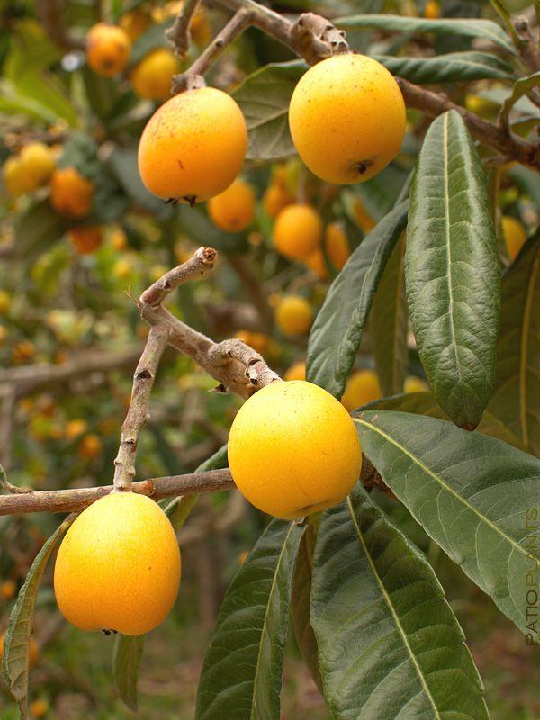 Japanese Plum Tree Eriobotrya Japonica, xd orchard pot