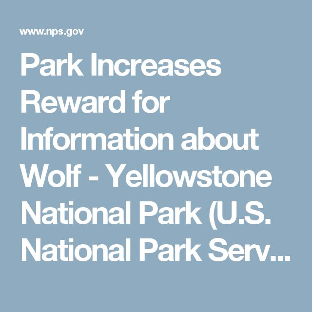 Park Increases Reward for Information about Wolf - Yellowstone National Park (U.S. National Park Service)