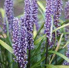 P18 Liriope muscari big blue lily-turf Evergreen perennial Position: partial to full shade, but will tolerate a sunnier spot if the soil is reliably moist. Soil: well-drained, neutral to acid soil Rate of growth: average Flowering period: August to November Hardiness: fully hardy H: 40cm S: 45cm