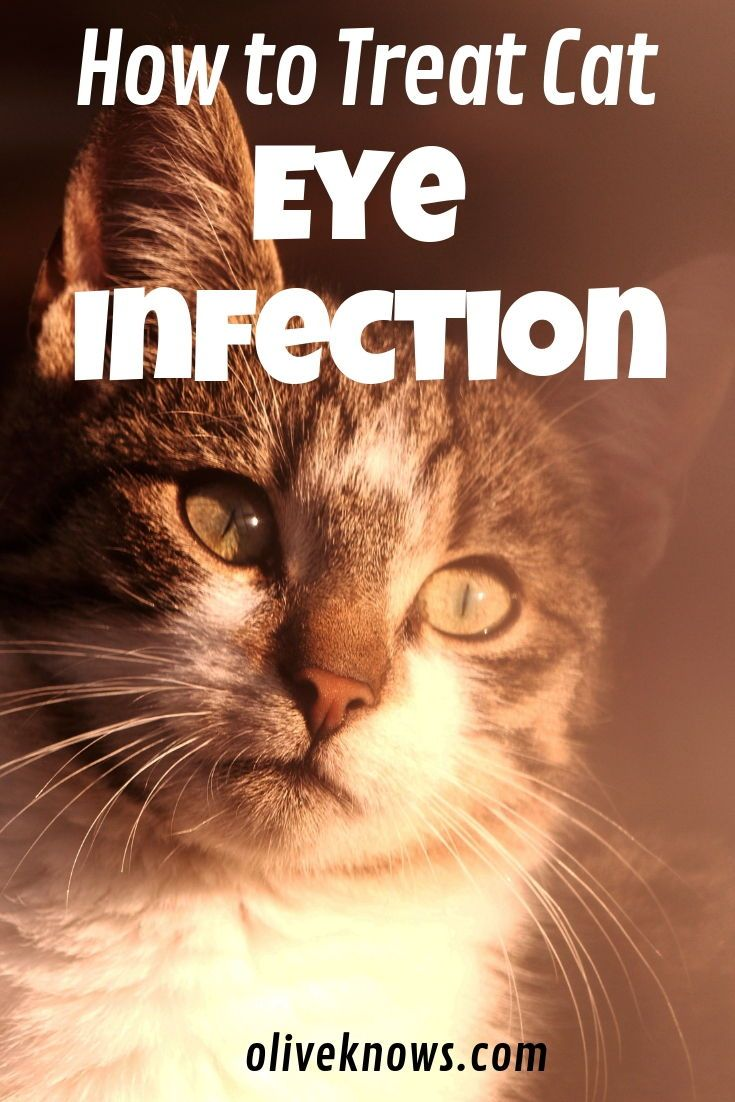 How To Treat Feline Eye Infections Oliveknows Cat Eye Infection Cats Cat Medication