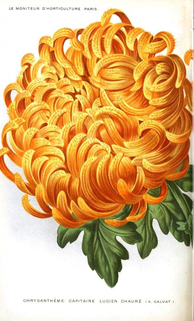 Chrysanthemum Flower Tattoo November Birthstone Color