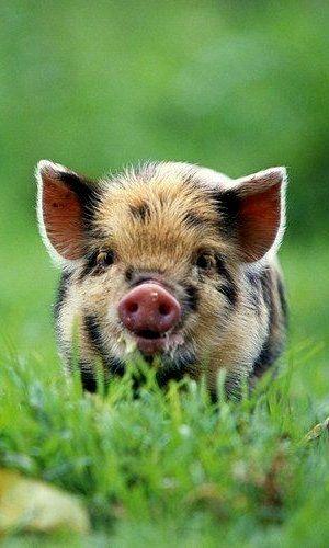 sweet little pig...