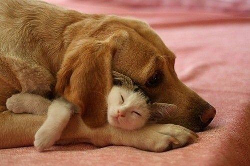 CuddlingSnuggles, Puppies, Best Friends, Bestfriends, Dogs Cat, Pets, Sweets Dreams, Cuddling Buddy, Animal
