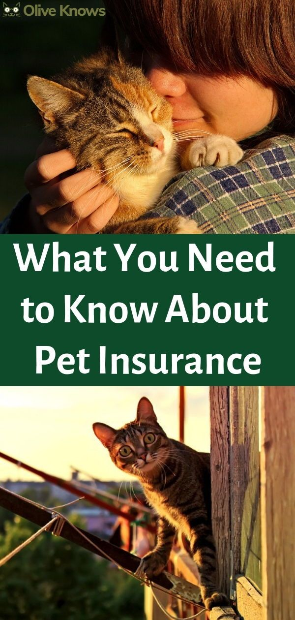 What You Need To Know About Pet Insurance Oliveknows Cat