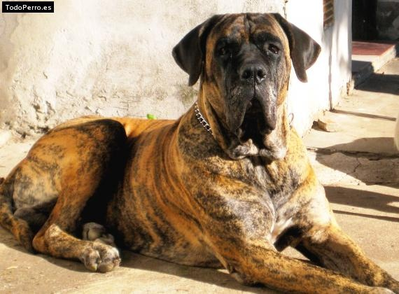 Fila Brasileiro...is that the garbage man coming to kill us all? He's toast if he comes over that fence!