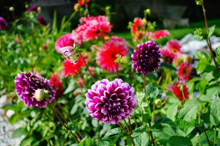 Dahlia. #flowers