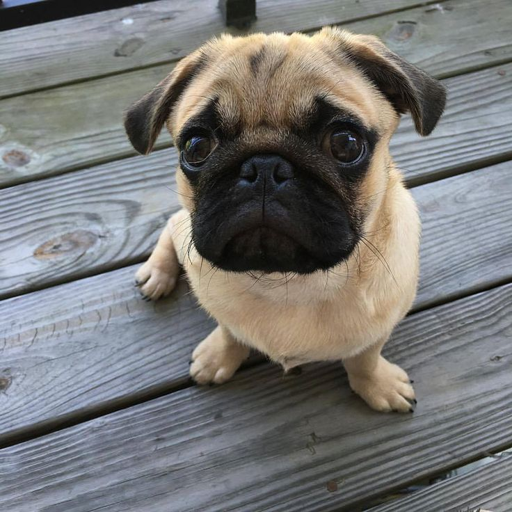 I would hug it to death!❤️  All credit goes to the owners 💝 Tag if you know them 💝  #pugdaily #pugs #pug #cute #puglover