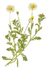 Chamomile has been used for centuries in teas as a mild, relaxing sleep aid, treatment for fevers, colds, stomach ailments, and as an anti-i...