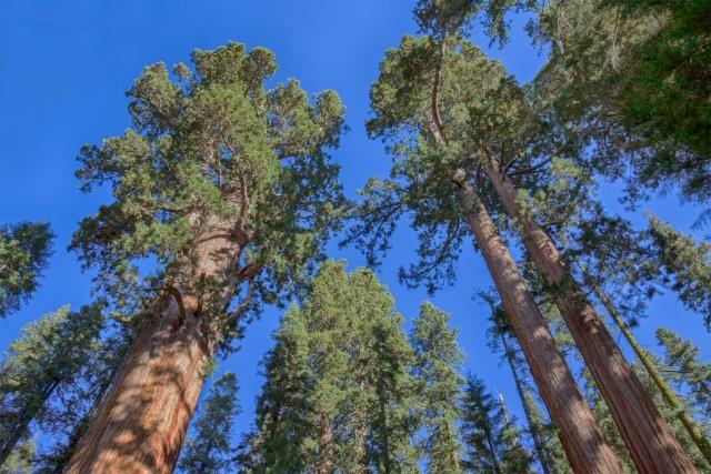 California Facts: California State Tree: California Redwoods