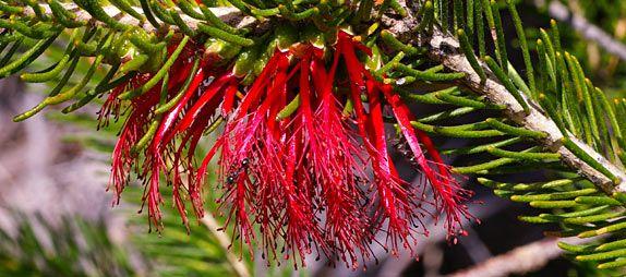 304 best images about australian native plants on pinterest