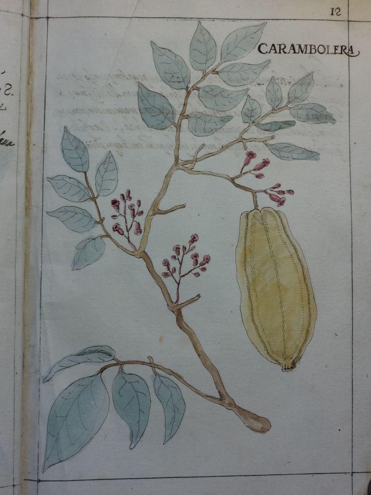"""DSC01306 - Manuel Godinho de Herédia (1563-1623)- """"Summa de arvores e plantas da India intra Gangez"""". 1612. Manuscrito, original autógrafo. Arquivos da Abadia de Tongerlo - Cota: AAT-V 133"""