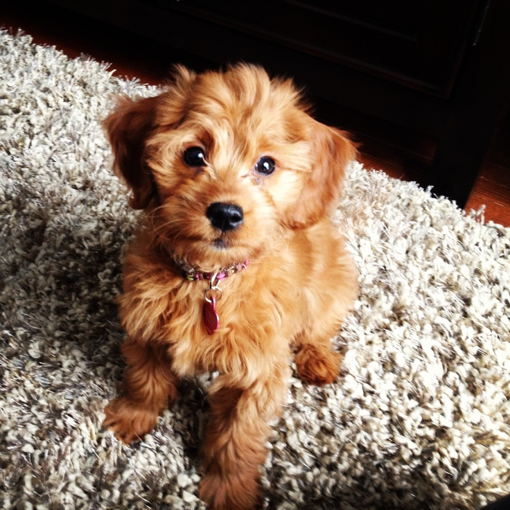 Mini Golden Doodle. Can I have it please?
