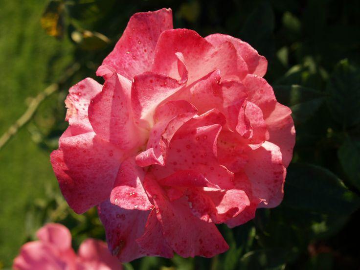 Vaaleanpunainen ruusu, Marketanpuisto