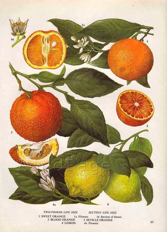 Vintage Botanical Print, Food Plant Chart, Art Illustration, Wall Decor, Citrus Fruit, Orange, Lemon