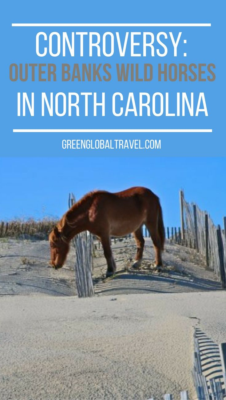 Take a look at the controversy behind the outer banks wild horses in North Carolina. | Currituck National Wildlife Refuge | Banker Horses | Corolla Wild Horses Protection Act |