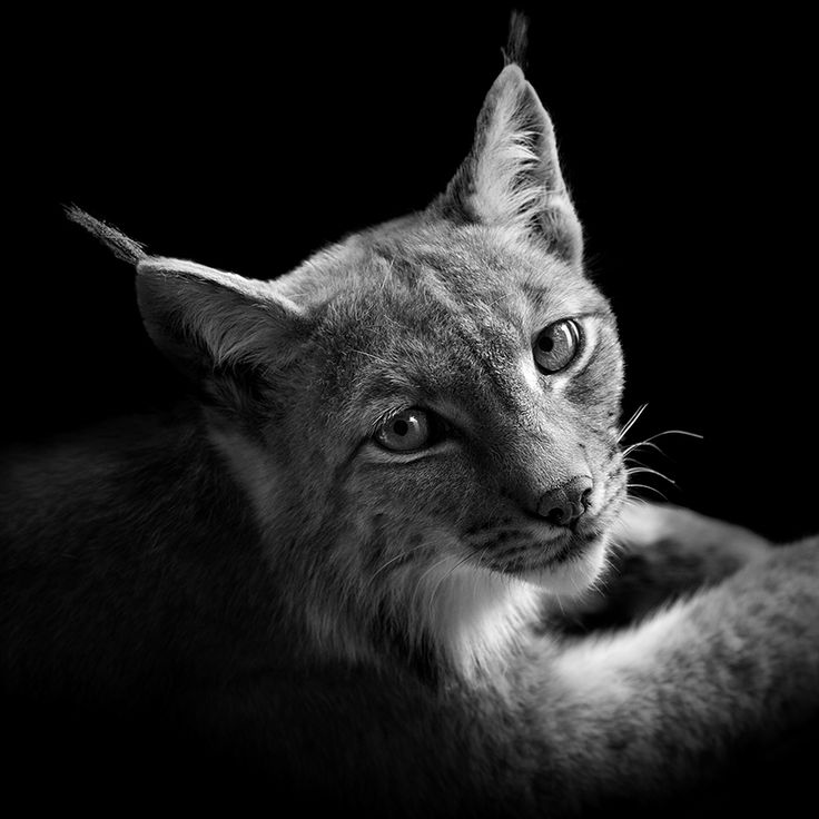 Amazing black and white animal photography by lukas holas ultralinx
