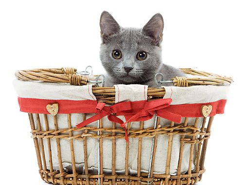 CAT 03 JE0224 01 © Kimball Stock Chartreux Kitten Sitting In Wicker Basket On White Seamless
