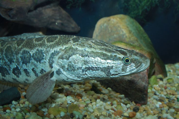 Snakehead Fish - Invasive and Voracious Predators