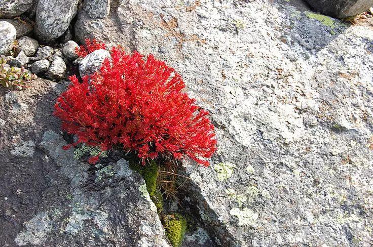 Красная щетка: дар природы, не имеющий аналогов в мире