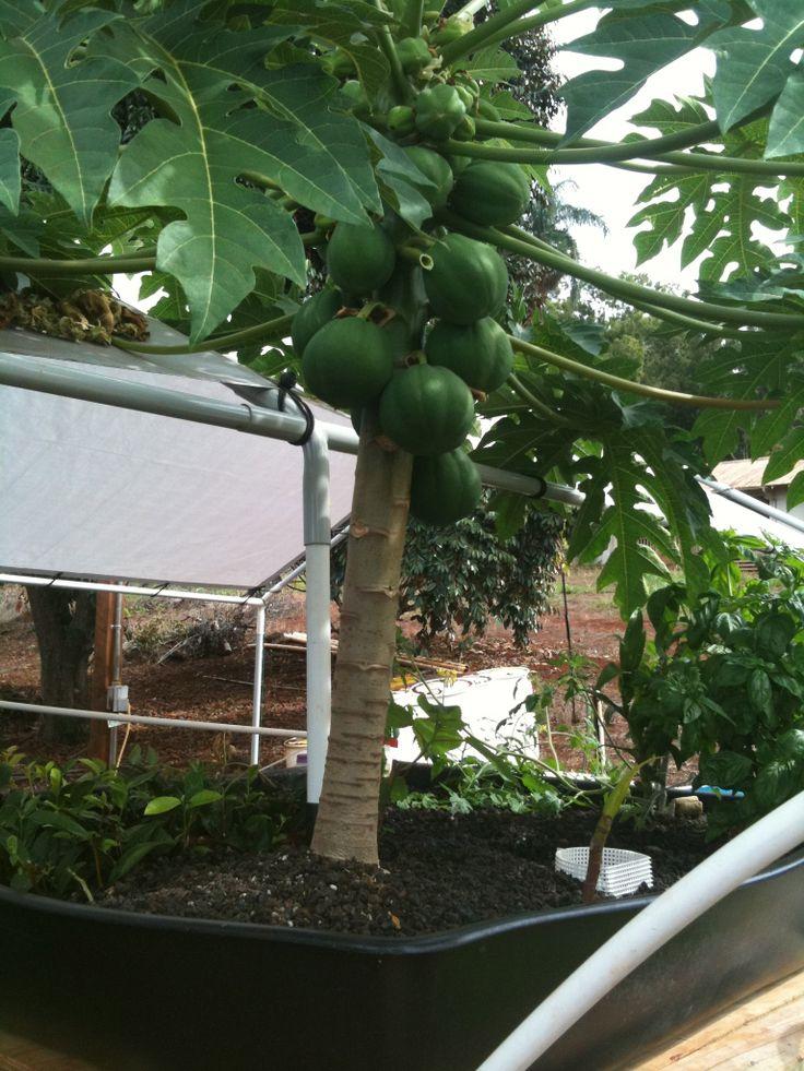 Hawaii papaya tree grown in a aquaculture system  Hawaii