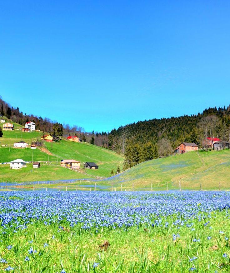 """Kadıralak yaylası/Tonya/Trabzon/// Kadıralak Yaylası'nda her yıl nisan ayında açmaya başlayan """"mavi yıldız"""" isimli çiçekler, toprağı adeta mavi örtü ile kaplar."""