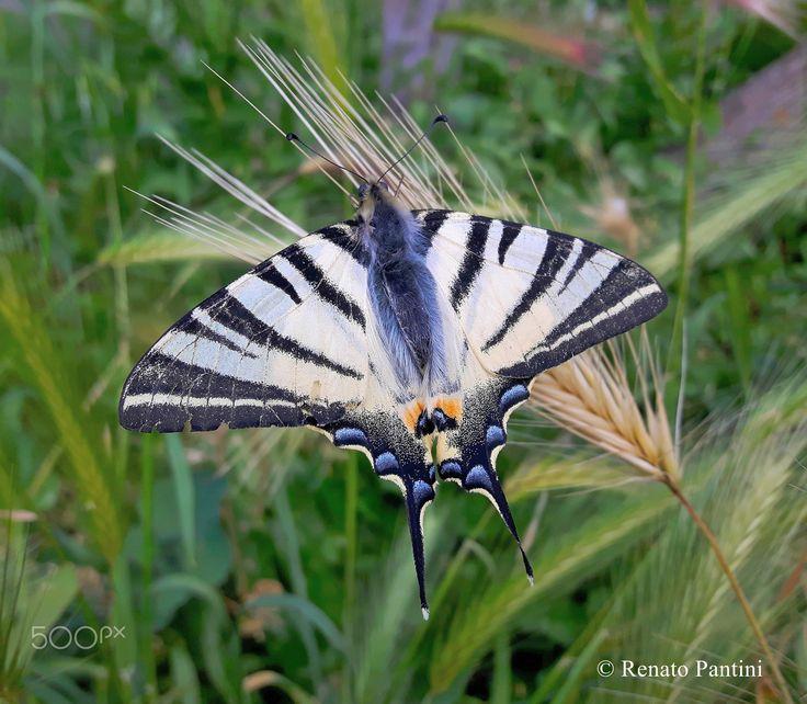 Iphiclides podalirius. - EN: Scarce swallowtail; ITA: Podalirio. Taken in Orvieto (Umbria, Italy) April 2017.