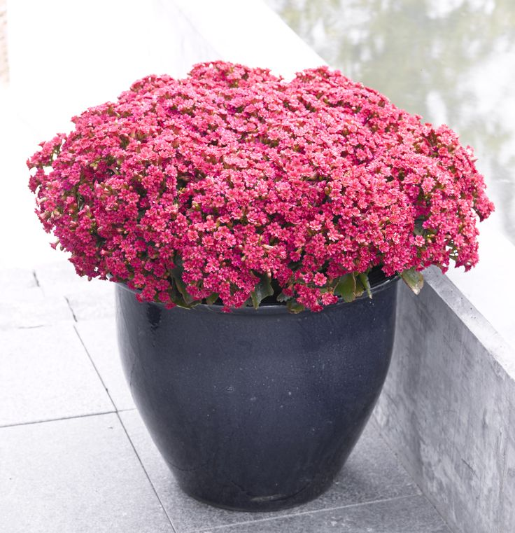 Queen kalanchoe Outdoor - Full bloom
