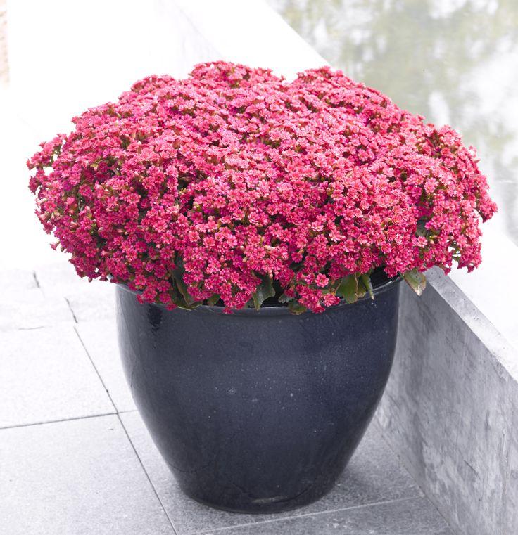 Queen kalanchoe Outdoor - Full bloom
