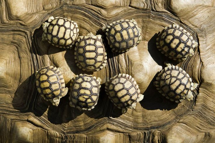 Baby Bumps....4 day old tortoises on mothers back....found  on msnbc The Week in Pictures