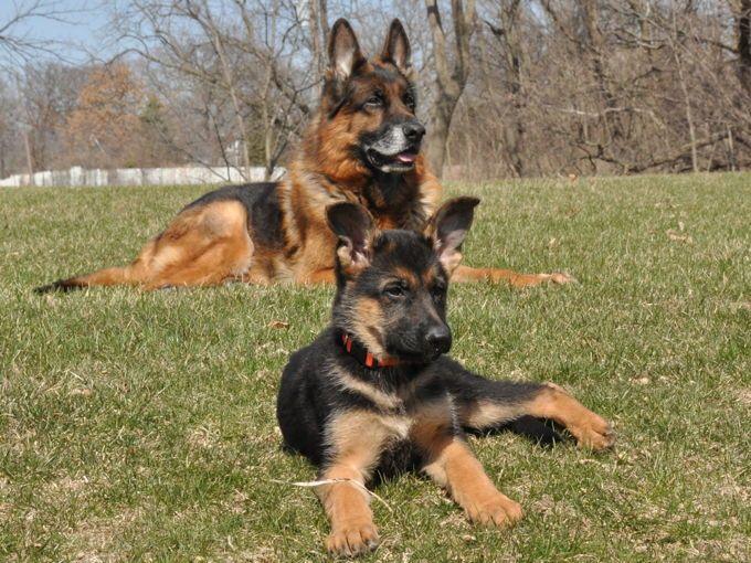 Vollmond Breeder Of German Shepherd Puppies Dogs For Sale