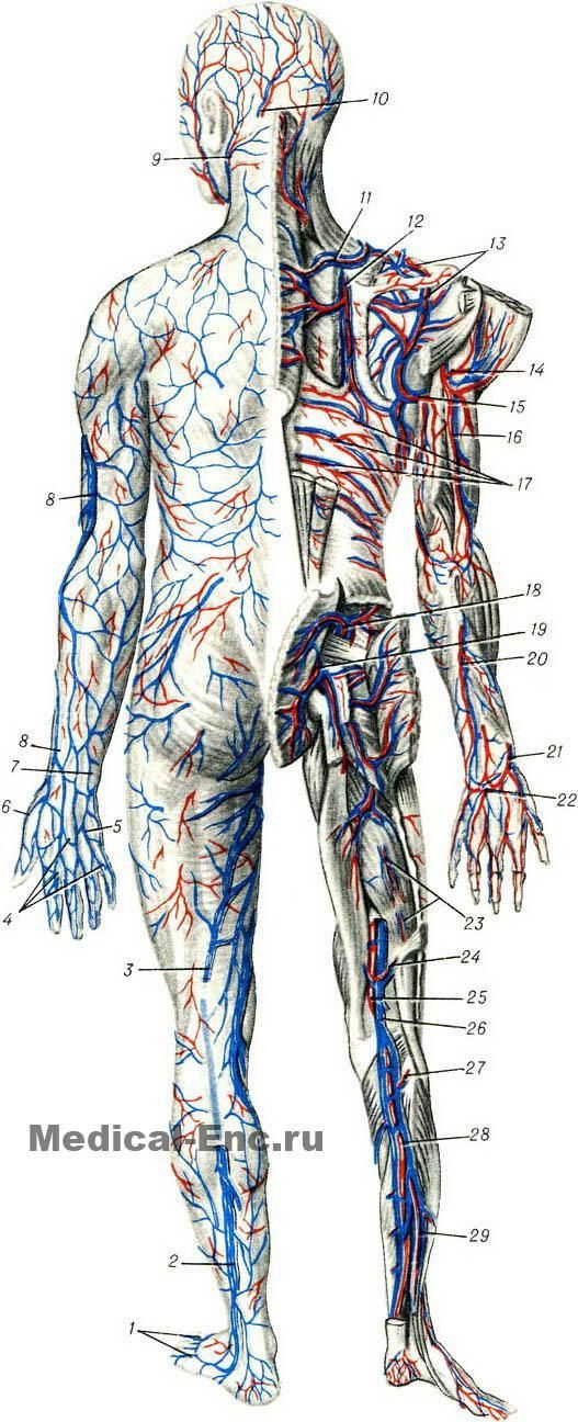 [Изображение: blood_vessels_diagram_2.jpg]