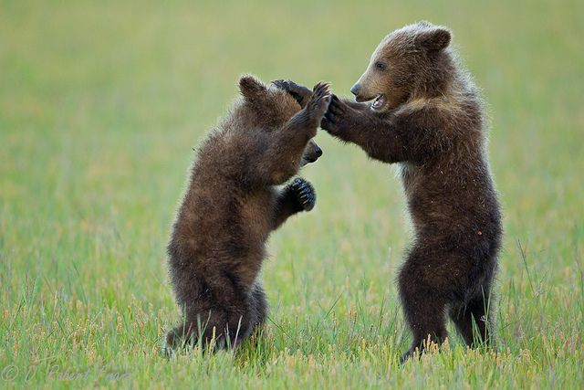 Alaskan brown bear cubs playing. they remind me of Little Bear, loved that show!