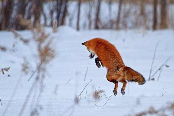 Renard roux bondissant dans la neige                                                                                                                                                                                 Plus