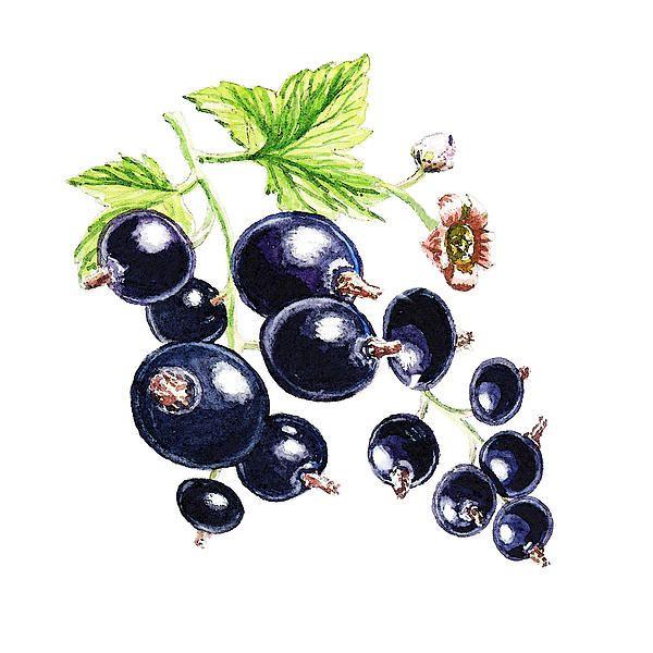 Blackcurrant Berries ' - http://irina-sztukowski.artistwebsites.com/featured/blackcurrant-berries-irina-sztukowski.html