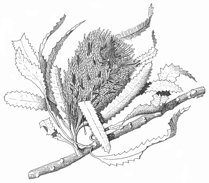 Banksia serrata: pen & ink drawing by John Armstrong, 1988