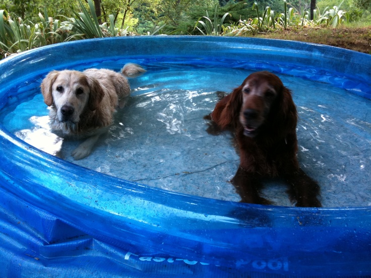 Tristan and his friend Snipe , Golden Retriever and Irish Setter