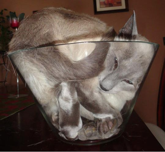 Cat in a large salad bowl.  Looks like a cat nap is about to come on soon. #PhelinePhanatic https://www.facebook.com/phelinephanatic