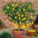 Saiba como plantar frutíferas em vasos