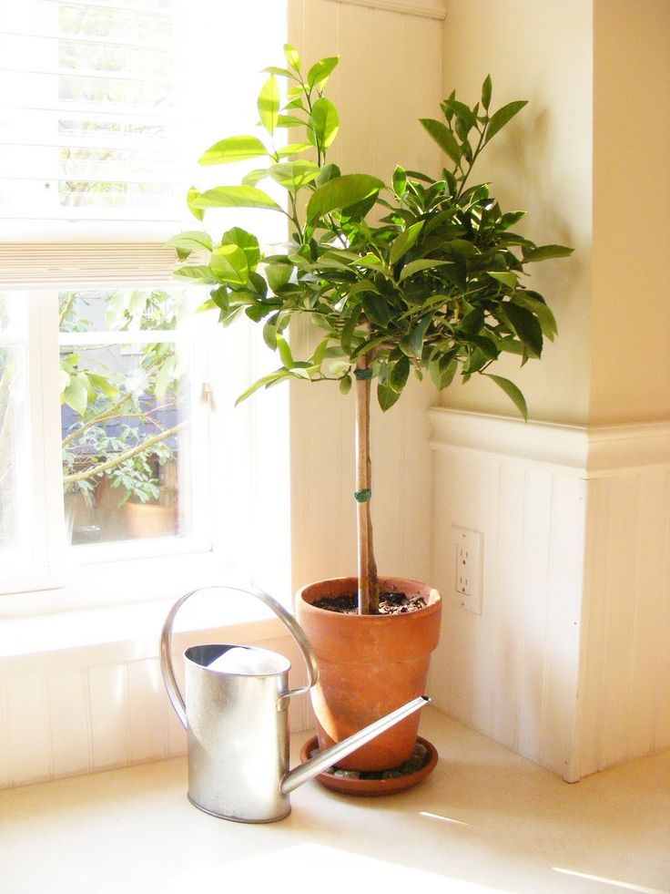 How to transition tropical plants indoors meyer lemon tree plants and gardens - Indoor potted flowers ...