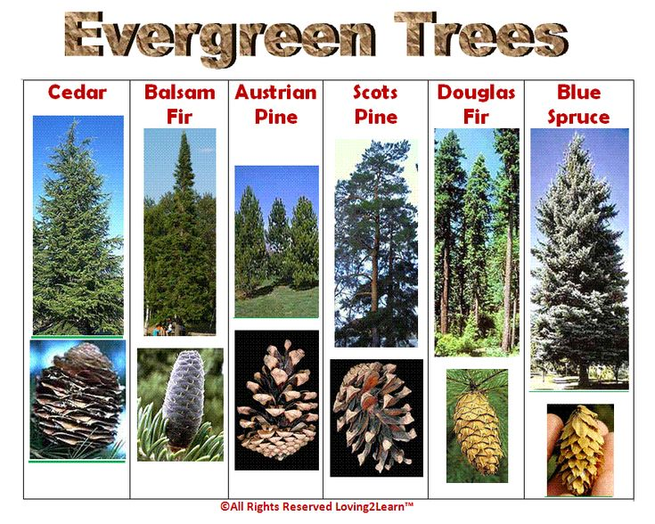 """Print off this """"Evergreen Trees"""" chart and discover what trees are in your area!  www.loving2learn.com"""