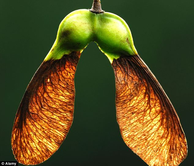 Downfall: Scientists believe horses are being poisoned by eating sycamore leaves and 'heli...