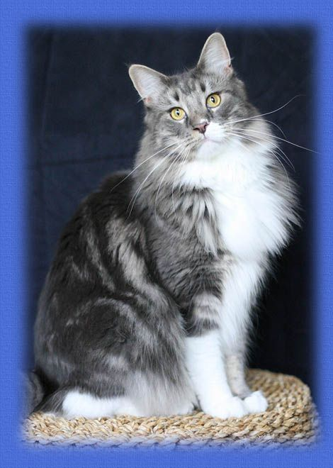 Maine Coon, blue tabby blotched & white (a 09 22). Chamberlain Earl Grey