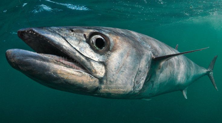 12 Steps to Catching Trophy King Mackerel
