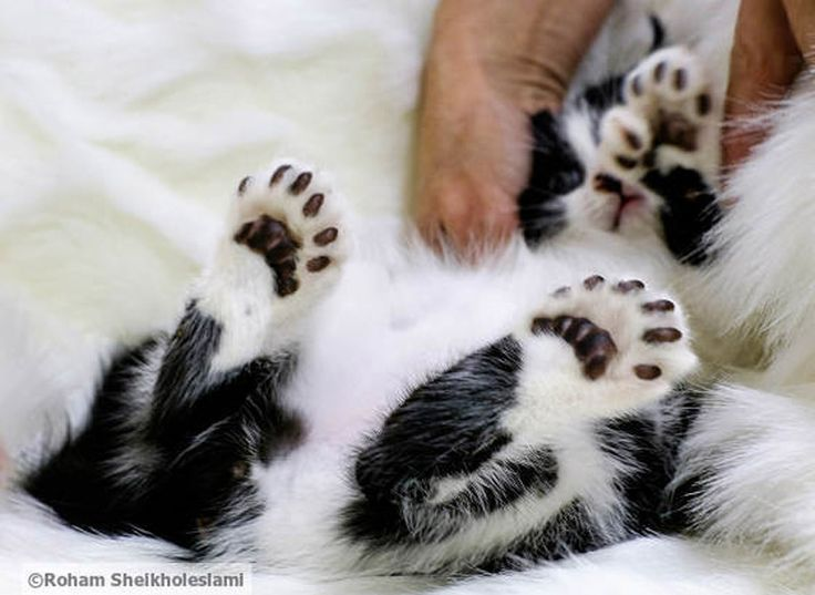 Meet Toes, The Adorable Polydactyl Cat