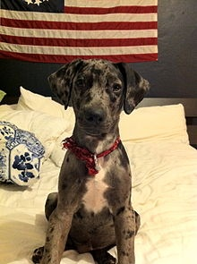 Catahoula Leopard Dog...Just like my Harlow girl (well besides the whole black lab situation.) <3