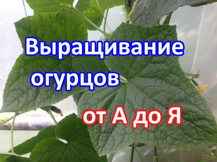 Выращивание огурцов. (Как посадить, как ухаживать, как подкармливать)